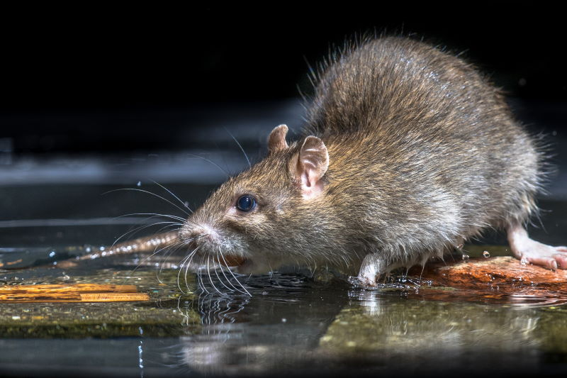 How To Keep Rats Out Of Your Crawlspace